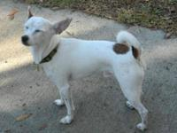 Rat Terrier - Freckles - Small - Young - Male - Dog