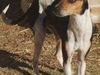 Rat Terrier - Gizzy - Small - Adult - Male - Dog Please