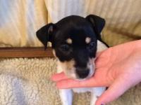 Rat Terrier - Hank - Small - Baby - Male - Dog My name