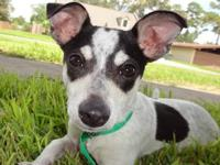 Rat Terrier - Hatcher - Medium - Adult - Male - Dog $90