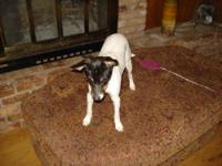 Rat Terrier - Heidi - Small - Young - Female - Dog