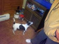 Rat Terrier - Honey Bun - Small - Adult - Female - Dog