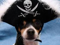 Rat Terrier - Honey - Medium - Adult - Female - Dog