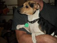 Rat Terrier - Jack - Small - Adult - Male - Dog Jack is