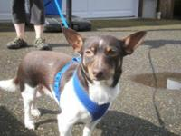 Rat Terrier - Jack - Small - Adult - Male - Dog When
