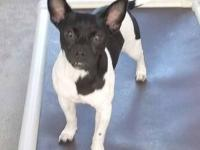 Rat Terrier - Jasper - Small - Adult - Male - Dog