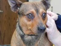Rat Terrier - Jetzin - Small - Adult - Male - Dog