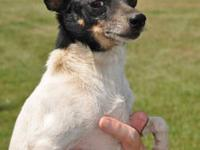 Rat Terrier - Johnny - Small - Adult - Male - Dog
