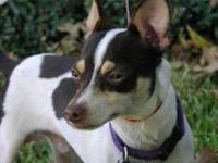 Rat Terrier - Kip-0b10 - Small - Young - Male - Dog