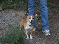 Rat Terrier - Kong - Small - Adult - Male - Dog Kong is