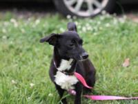 Rat Terrier - Laura - Small - Adult - Female - Dog