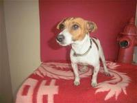 Rat Terrier - Leo - Small - Adult - Male - Dog Hello,