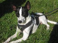 Rat Terrier - Leo - Small - Young - Male - Dog Looking