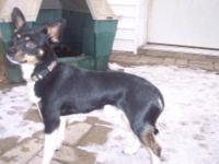 Rat Terrier - Leroy - Small - Adult - Male - Dog I am a