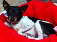 Rat Terrier - Lilo - Small - Adult - Male - Dog