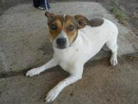 Rat Terrier - 'livia' - Small - Young - Female - Dog