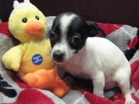 Rat Terrier - Lucky - Medium - Adult - Male - Dog