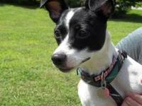 Rat Terrier - Luna - Small - Young - Female - Dog Luna