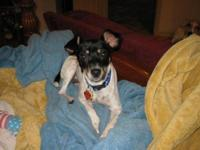 Rat Terrier - Mandy - Small - Young - Female - Dog This