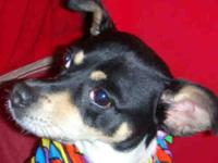 Rat Terrier - Max - Small - Adult - Male - Dog