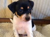 Rat Terrier - Max - Small - Baby - Male - Dog My name