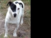 Rat Terrier - Maxwell - Small - Young - Male - Dog