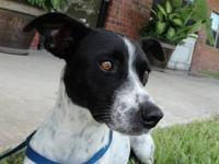 Rat Terrier - Mazel - Medium - Adult - Female - Dog $90