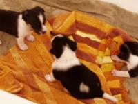 Rat Terrier - Minnie's Puppies - Small - Baby - Male -
