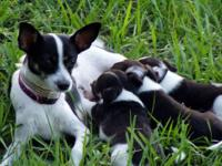 Rat Terrier - Minnie - Small - Young - Female - Dog