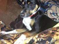 Rat Terrier - Miriam - Small - Young - Female - Dog