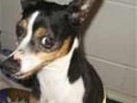 Rat Terrier - Mitzi - Medium - Adult - Female - Dog