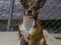 Rat Terrier - Munchkin - Medium - Adult - Male - Dog
