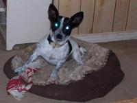 Rat Terrier - Nelly - Small - Young - Female - Dog