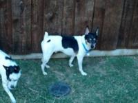 Rat Terrier - Oscar - Small - Baby - Male - Dog This