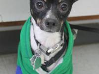 Rat Terrier - Peanut - Small - Young - Male - Dog Poor