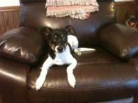 Rat Terrier - Penny - Small - Young - Female - Dog