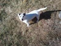 Rat Terrier - Percy - Small - Young - Female - Dog