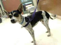 Rat Terrier - Peterey - Small - Adult - Male - Dog