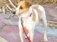 Rat Terrier - 'phoebe' - Small - Young - Female - Dog