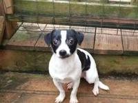 Rat Terrier - Pipsqueak - Small - Young - Male - Dog