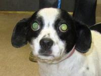 Rat Terrier - Pricilla - Small - Young - Female - Dog