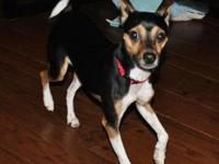 Rat Terrier - Princess - Small - Young - Female - Dog