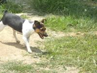 Rat Terrier - Pumpkin - Small - Young - Female - Dog