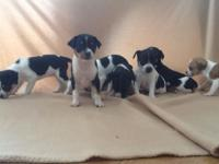 Rat Terrier young puppies. We have 3 males to select