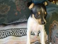 Rat Terrier puppies type A. Three tri colored males to