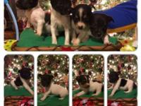 I have Rat Terrier young puppies for sale. I have a