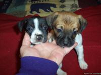 Rat Terrier Puppies Males raised in our loving home