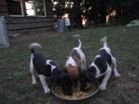 Rat Terrier puppies, purebred type B; They are wormed