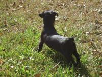 Adorable little female Rat Terrier pup needing her