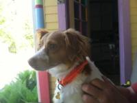 Rat Terrier Pups on the way! Our red Zoey who is a rat